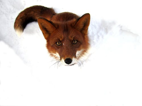 From above of attentive red fox scavenger carnivore animal on white snow in natural environment