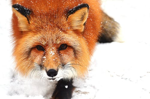 From above of wild fox with fluffy fur crawling on white snow in winter day