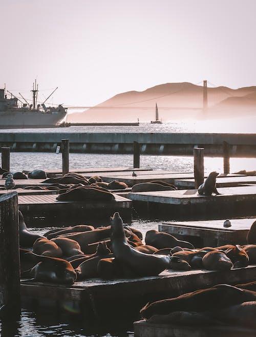 Seal on Brown Wooden Dock