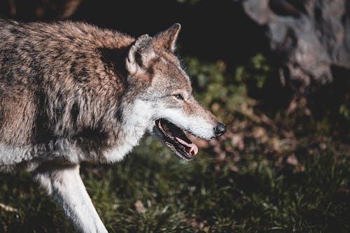 Brown Wolf on Green Grass
