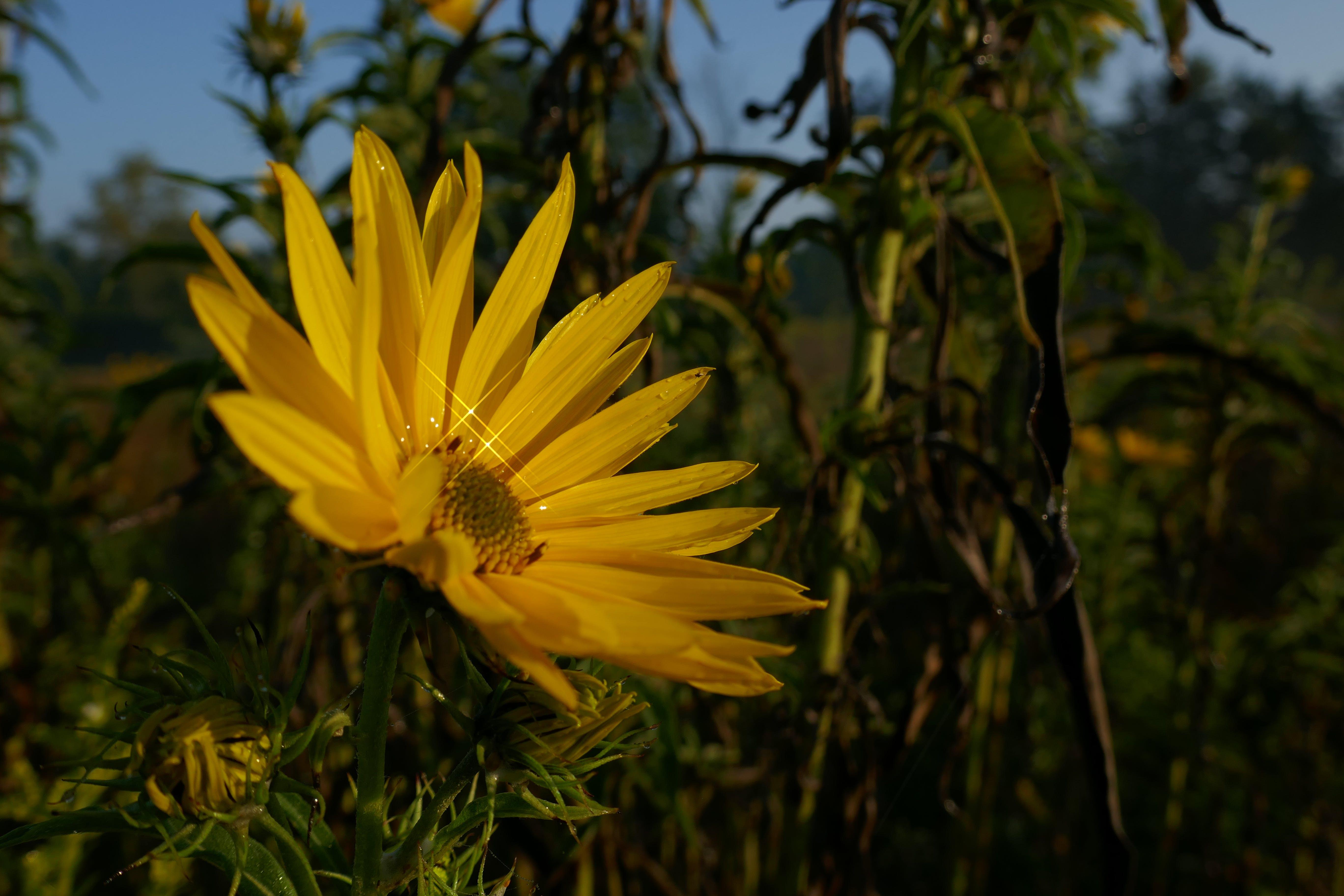 Kostenloses Stock Foto zu blume, funkeln, heliopsis helianthoides, ox augen sonnenblume