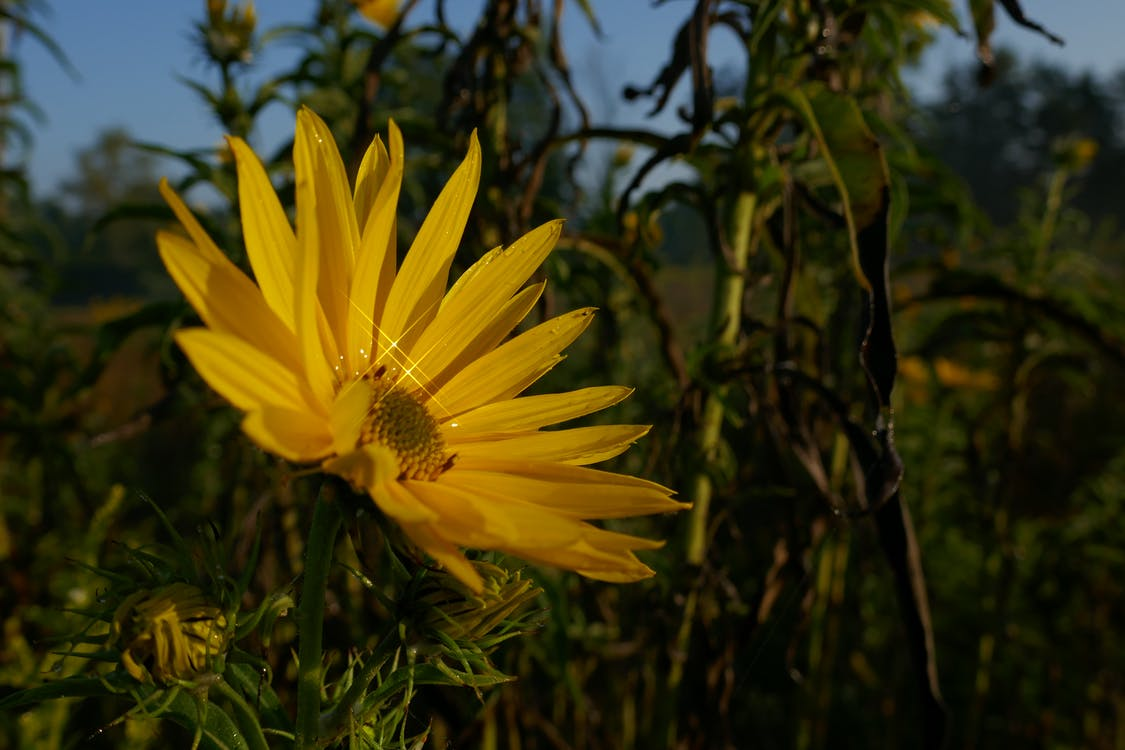 Free stock photo of flower, Heliopsis helianthoides, ox eye sunflower