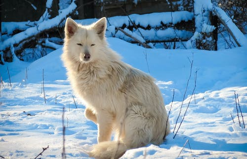 White Wolf on Snow Covered Ground