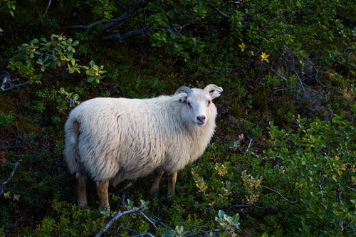 White Sheep Standing on Plants