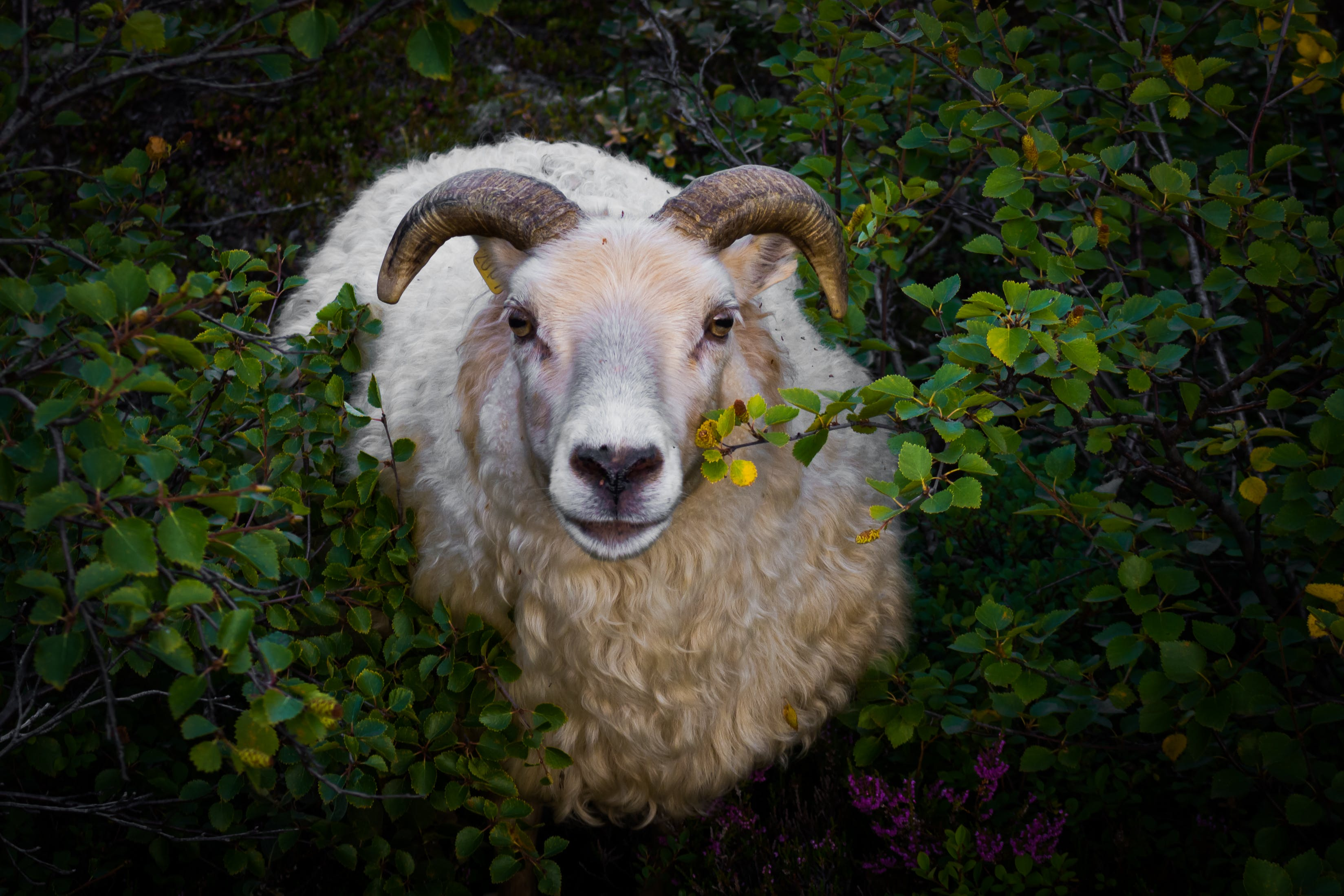 White Ram in Bush