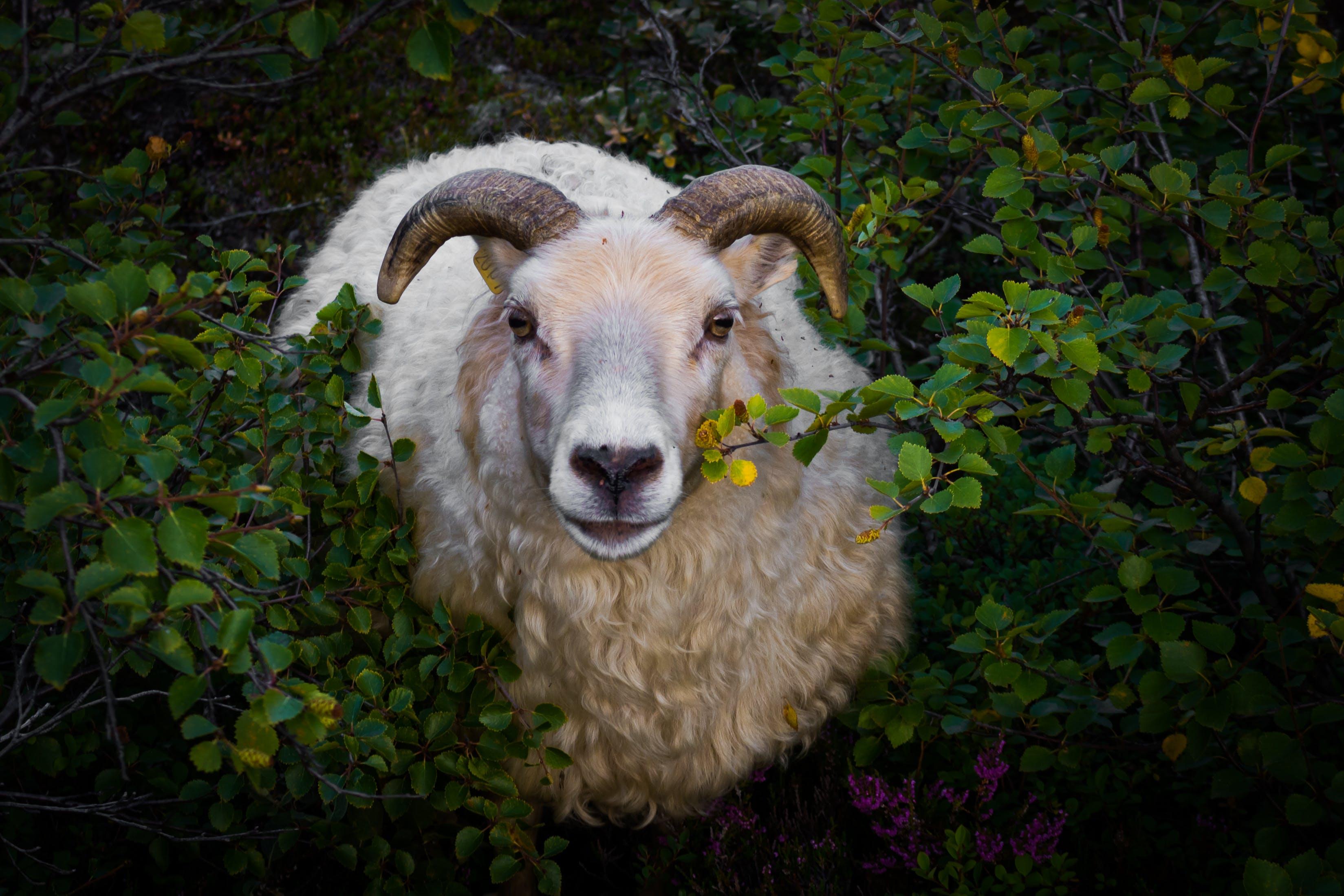 White Ram in Bush