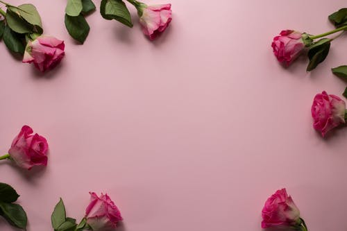 Top view of fresh roses arranged on pink background for romantic occasion concept