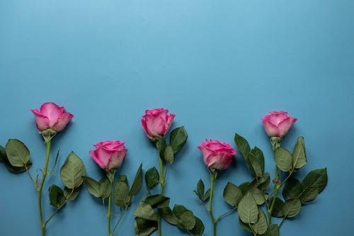 Rosa Rosa Con Hojas Verdes