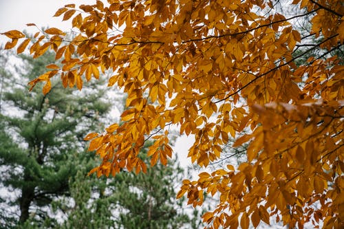 Tree with golden leaves growing in coniferous forest in autumn
