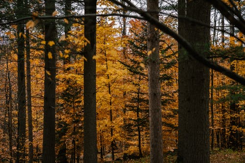 Picturesque autumnal woods with golden trees