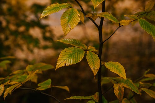 Yellow leaves on tree twigs in woods