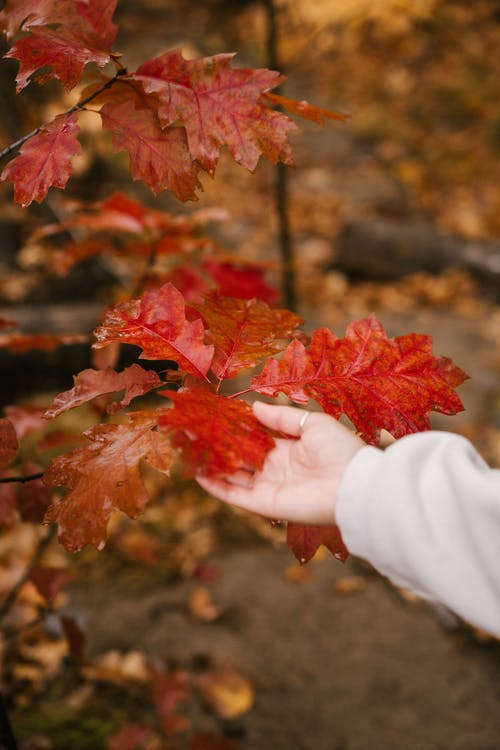 Unrecognizable person touching big vibrant red leaf of tree in park in autumn on blurred background