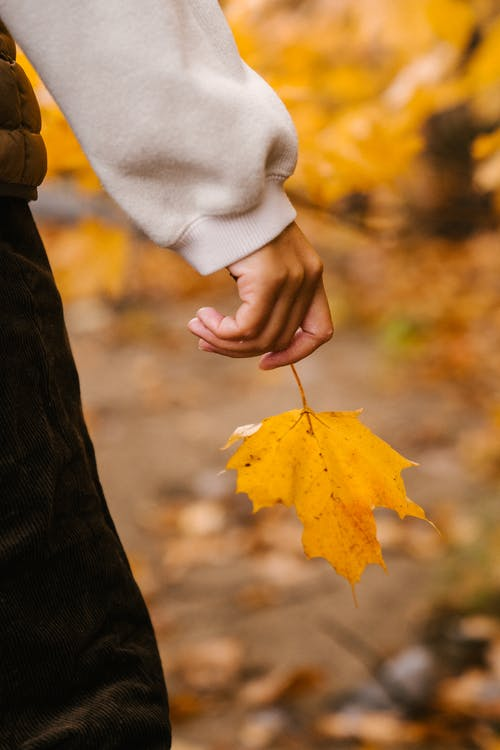 Unrecognizable person in warm sweater and pants with vibrant yellow leaf of maple in hand in woodland in autumn on blurred background