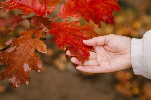 Anonymous person touching red leaf in autumn forest