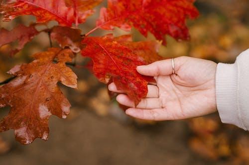 Pessoa Anônima Tocando Folha Vermelha Na Floresta De Outono