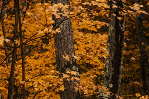 Tall dark brown thick trunks surrounded by long thin branches with vivid yellow foliage in autumn forest in daytime