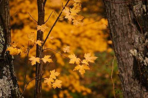 Scenery of tranquil autumn maple trees with bright yellow leaves in forest on cold day