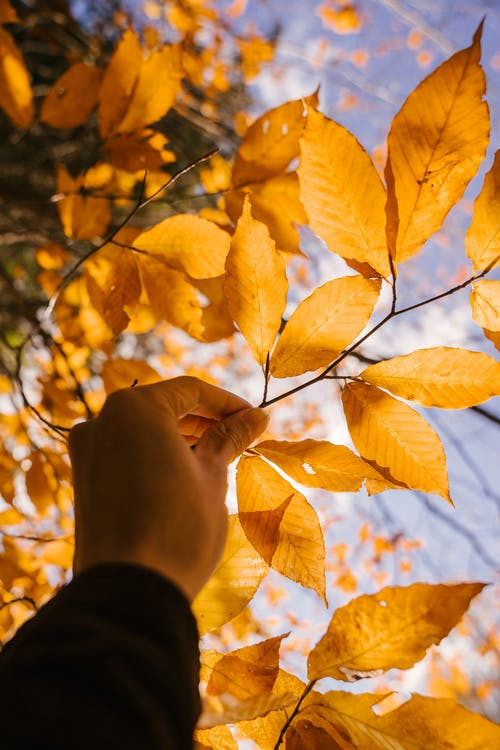 Person showing dried autumn leaves on branch