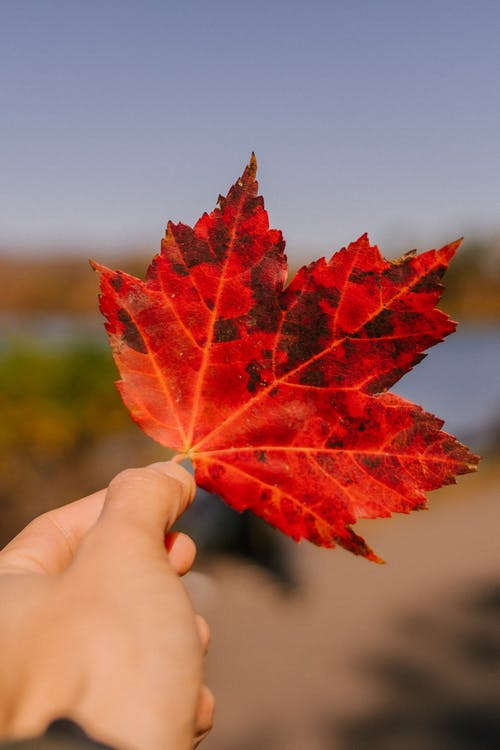 Unrecognizable person demonstrating fallen red leaf of maple tree while standing in forest in nature on sunny autumn day with blurred background