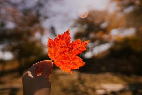 Unrecognizable person demonstrating small red maple leaf while standing in forest on sunny autumn day with blurred background in nature