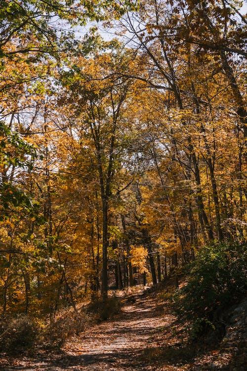 Allée Parmi Les Arbres Dorés Dans Les Bois D'automne