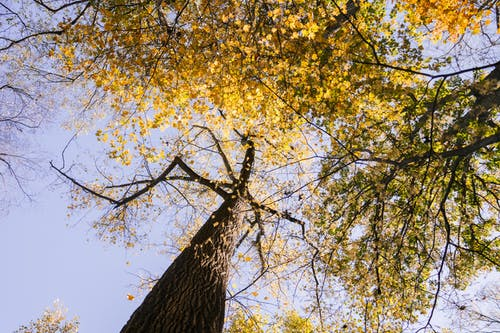 From below of tall tree with curvy branches and yellow leaves growing in forest against cloudless blue sky on sunny autumn day