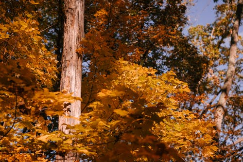 Autumn trees with lush golden leaves in sunlight