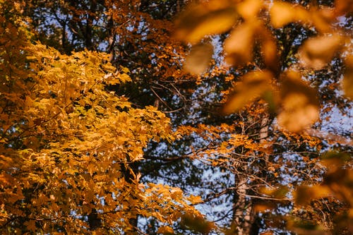 Bright yellow leaves of autumn trees in sunlight
