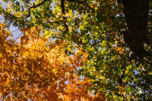 From below of tree picturesque trees with green and yellow leaves growing in park against cloudless blue sky