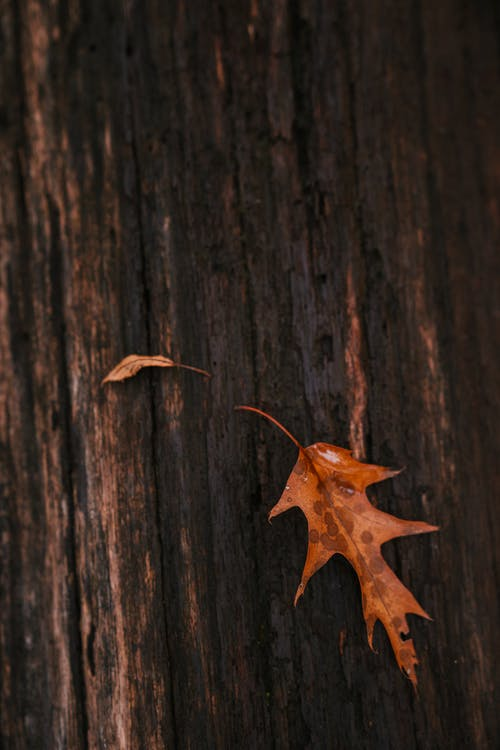 Dry oak leaf on tree trunk in autumn forest