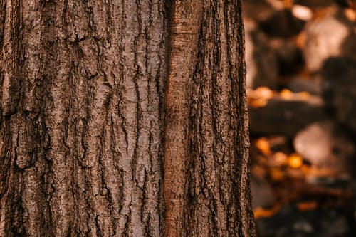 Closeup of uneven surface of tree trunk with wet brown bark growing in forest on autumn day