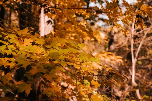 Maple tree with bright yellow leaves growing in woods in sunlight