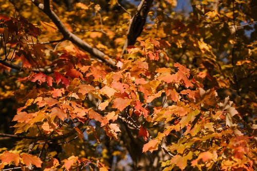 Bright autumn leaves on maple tree in park