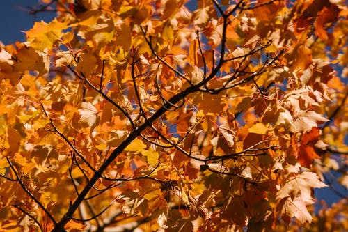 Maple tree branch with bright autumn leaves in park