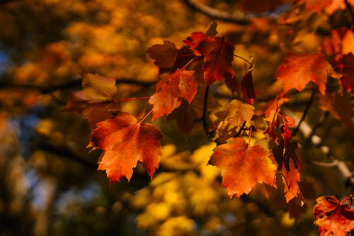 Colorful maple leaves on tree in garden