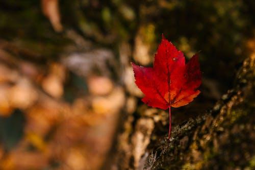 紅楓葉與薄莖在秋天的公園
