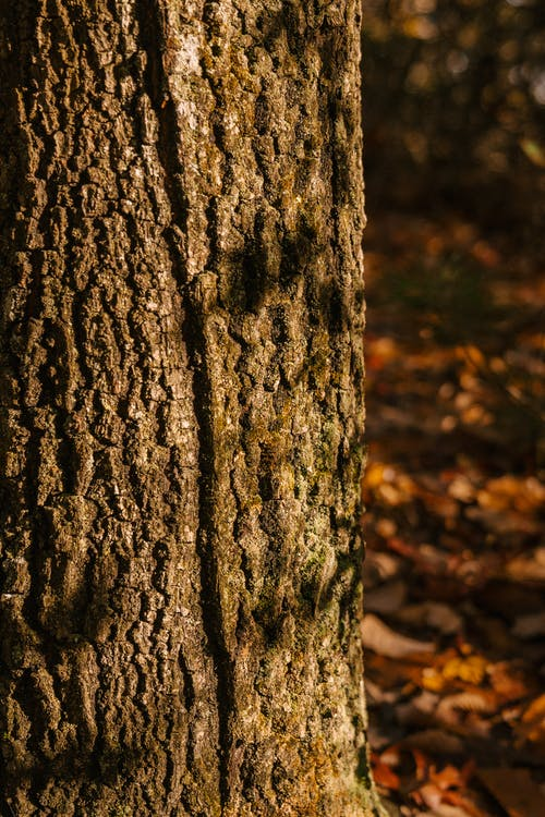 Dry thick tree trunk with rough ribbed surface growing in autumn forest in sunlight