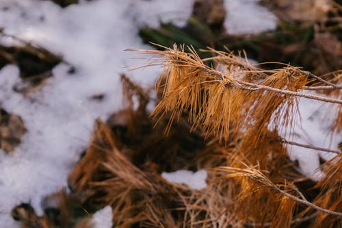 Dry twigs of pine tree in winter