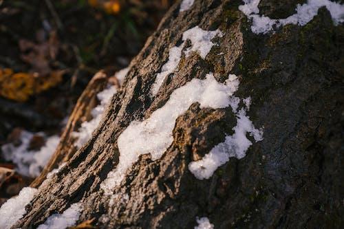 Tronc D'arbre Massif Dans Le Parc Enneigé