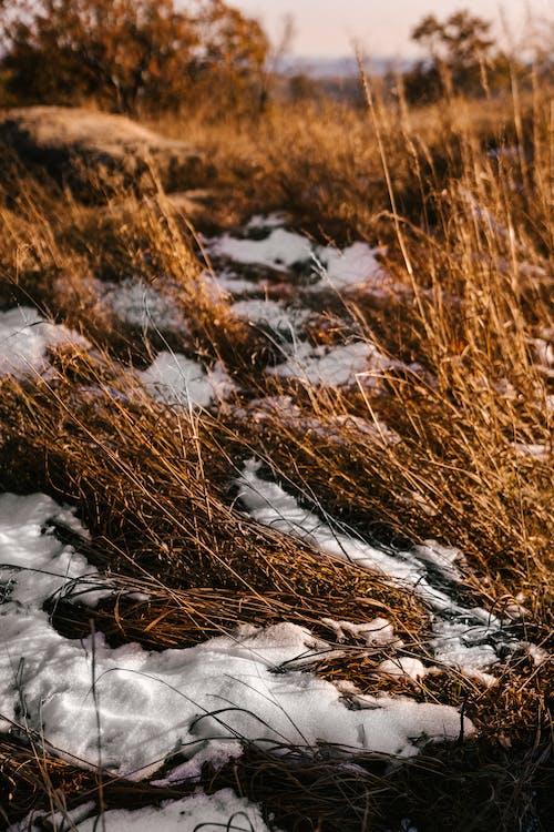 Herbe Sèche Sur Prairie Avec De La Neige