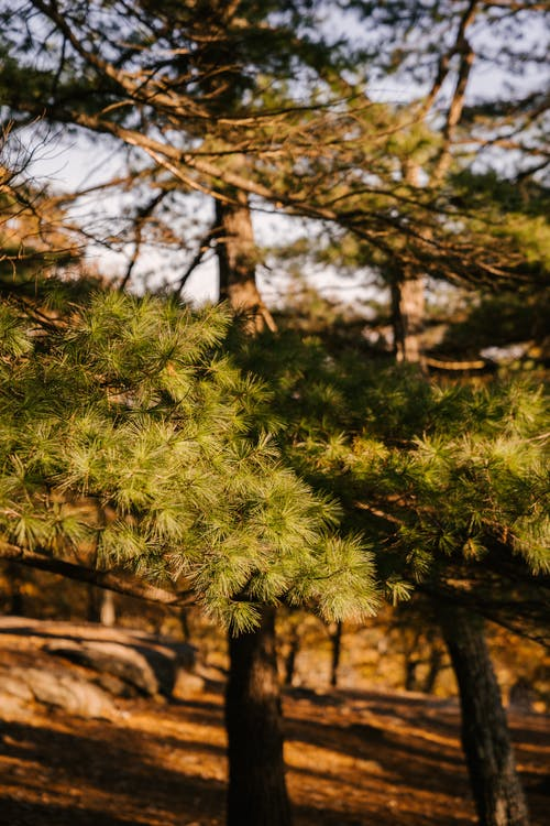 Branches of fir tree with lush spikes growing in park under bright sunlight