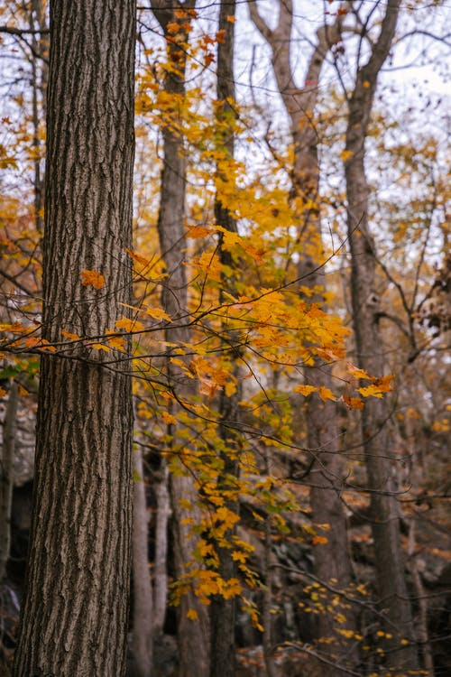 Tall trees with dry yellow leaves on branches in autumn woods in daytime