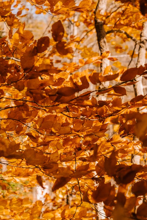 Golden leaves on branches of deciduous trees with thin trunks in autumn woods