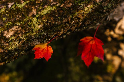 Closeup of small yellow and red dry maple leaves on bark of tree in forest