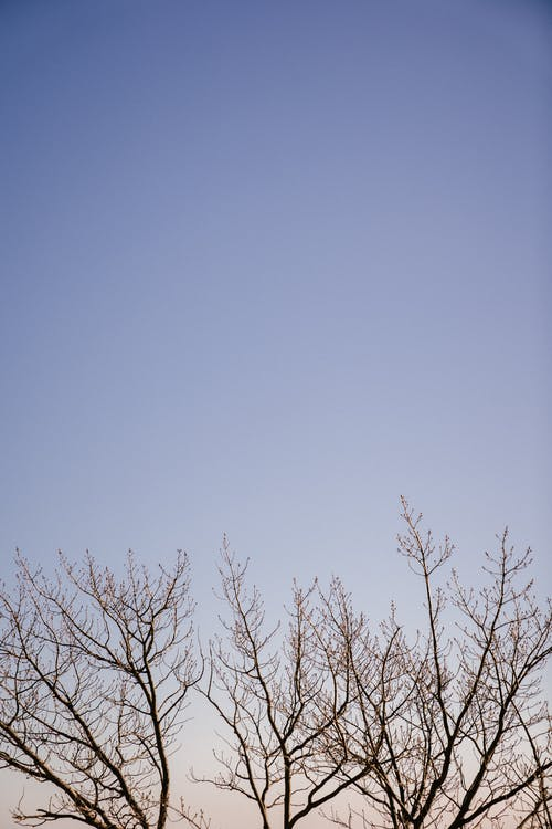 Crowns of trees with leafless thin branches against blue cloudless sky in evening
