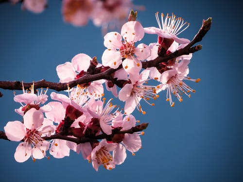 Selective Focus Photo of Cherry Blossoms on a Branch