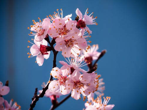 Close-Up Photo of Light Pink Cherry Blossoms in Bloom