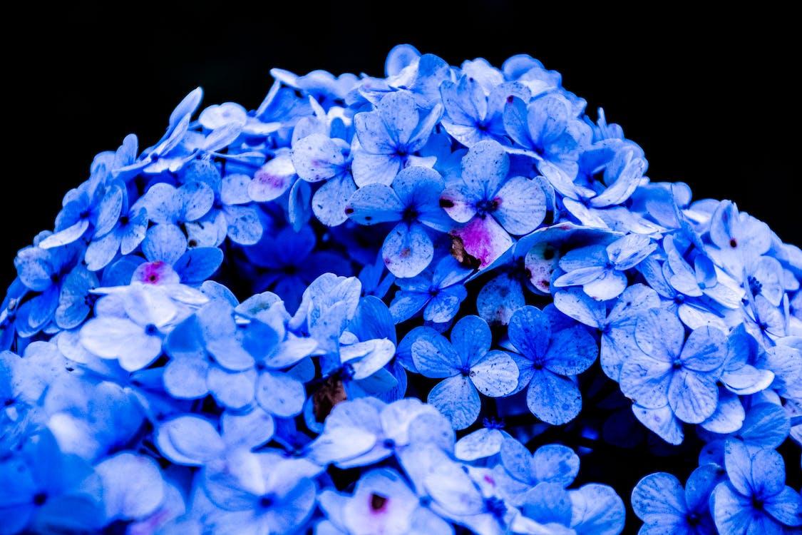 gyár, hortenzia, kék