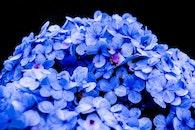nature, flowers, blue
