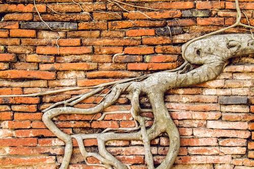 คลังภาพถ่ายฟรี ของ กำแพงอิฐ, ราก